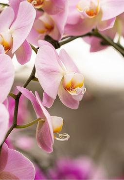 orchids_22316c.jpeg