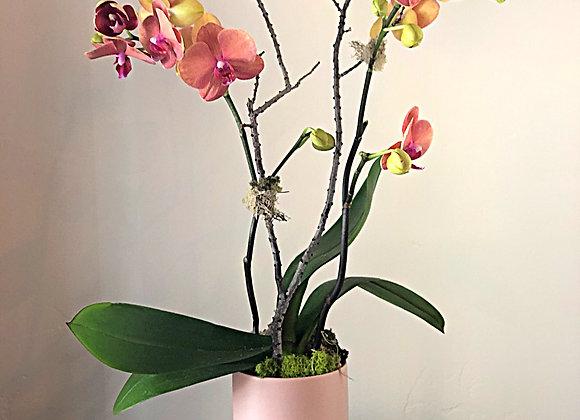 Orchid Plant | Le Medium
