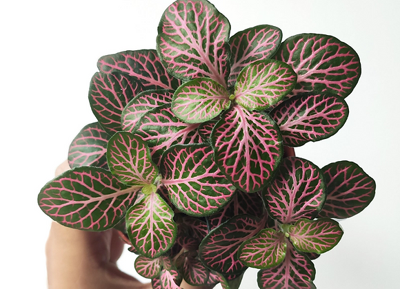 Pink Fittonia