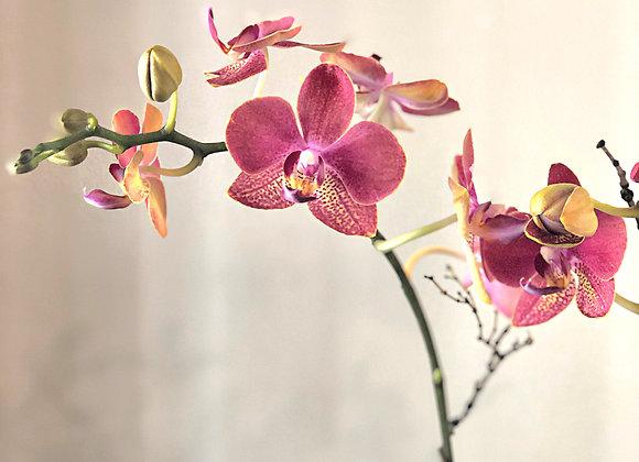 Orchid Plant | Petite