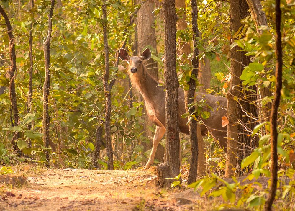 Sambar Deer at Kanha