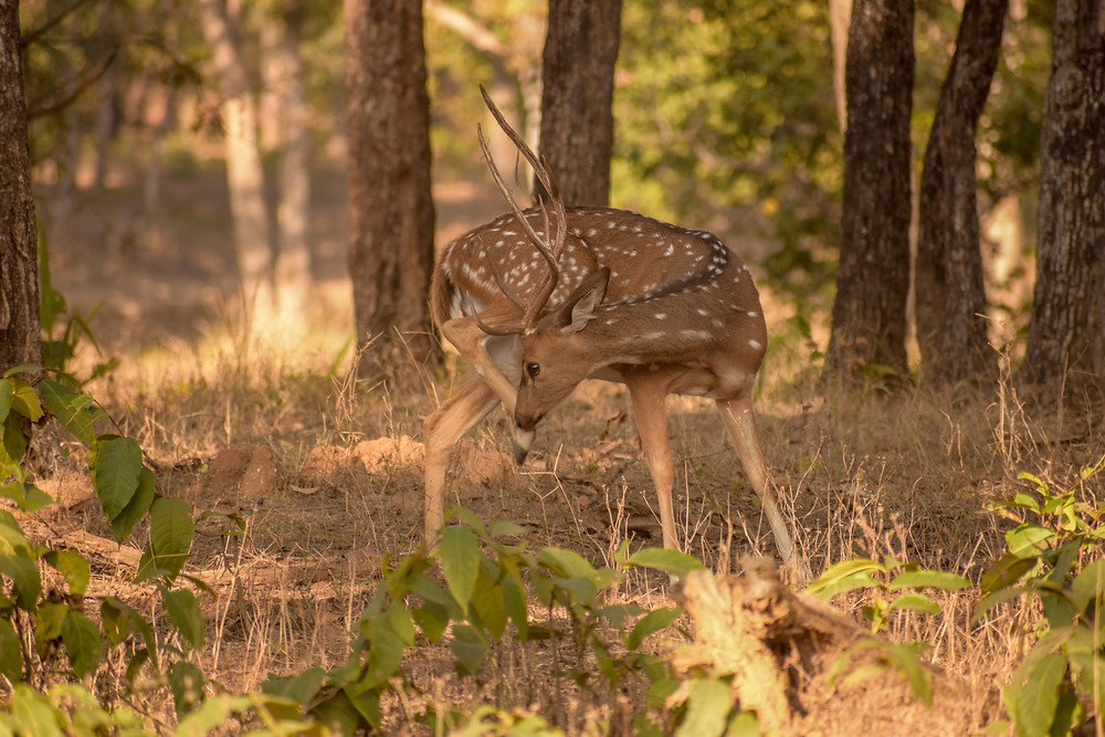 The spotted deer at Kanha national park