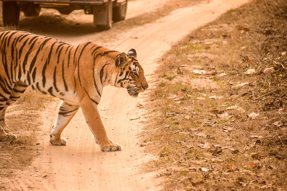 Tigress Naina at Kanha