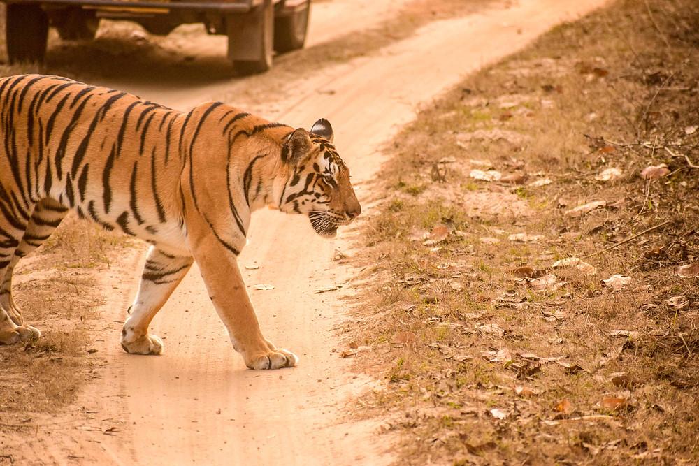 Tigress Naina at Kanha