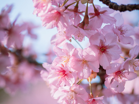 Top 5 Tips to take better cherry blossom photos