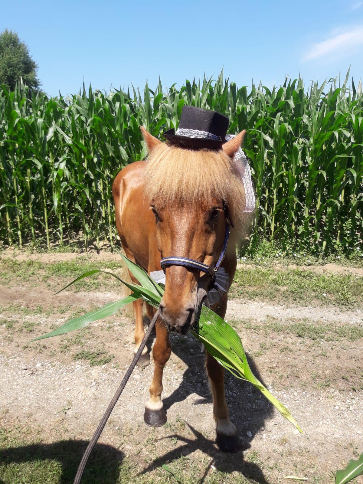Hochzeitspferd