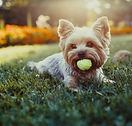 Beautiful Yorkshire terrier playing with