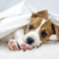 Jack russel terrier puppy sleeping on wh
