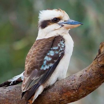 In a World Obsessed with Conflict, How Can a Kookaburra Save Your Soul…and Your Story?