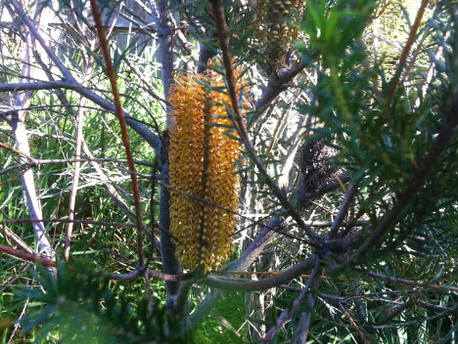Banksias are Better than Banksy