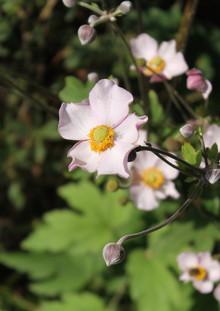 miria+harris_cassland+road+garden_anemon