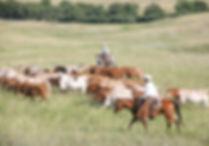 Cord longhorns.jpg