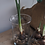 Thumbnail: PRE-ORDER Indoor FloweringWhite Narcissi in Hurricane Vase