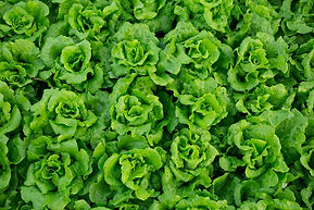 lettuce-butter-small.JPG
