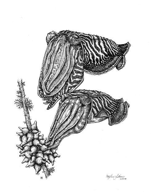 Cuttlefish laying pair.jpg