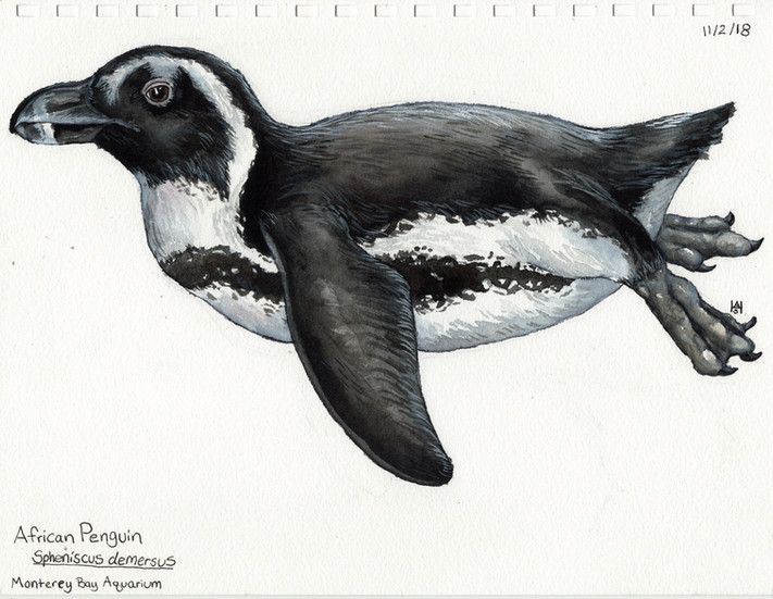 African Penguin Sketch Monterey Bay Aquarium