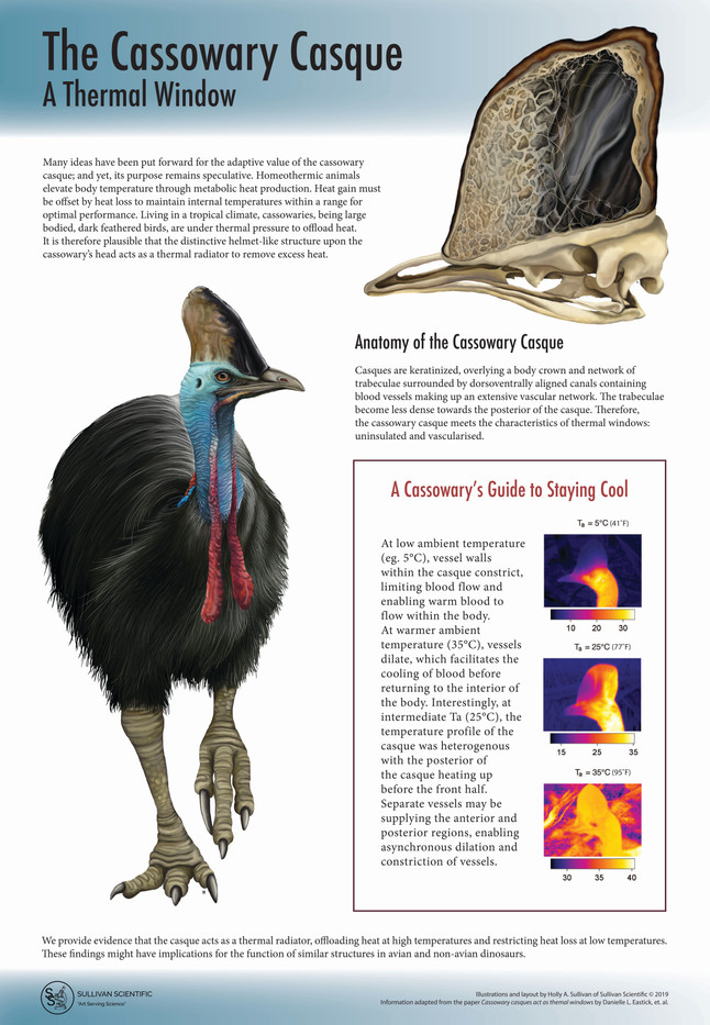 The Cassowary Casque: A Thermal Window