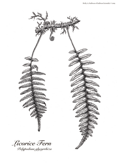 Licorice Fern Pressed Plant Plate.png