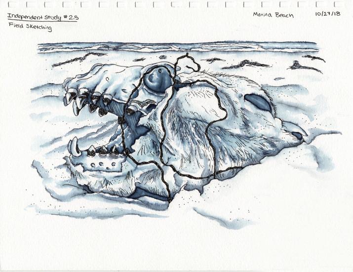 Sealion Skull Sketch.jpg