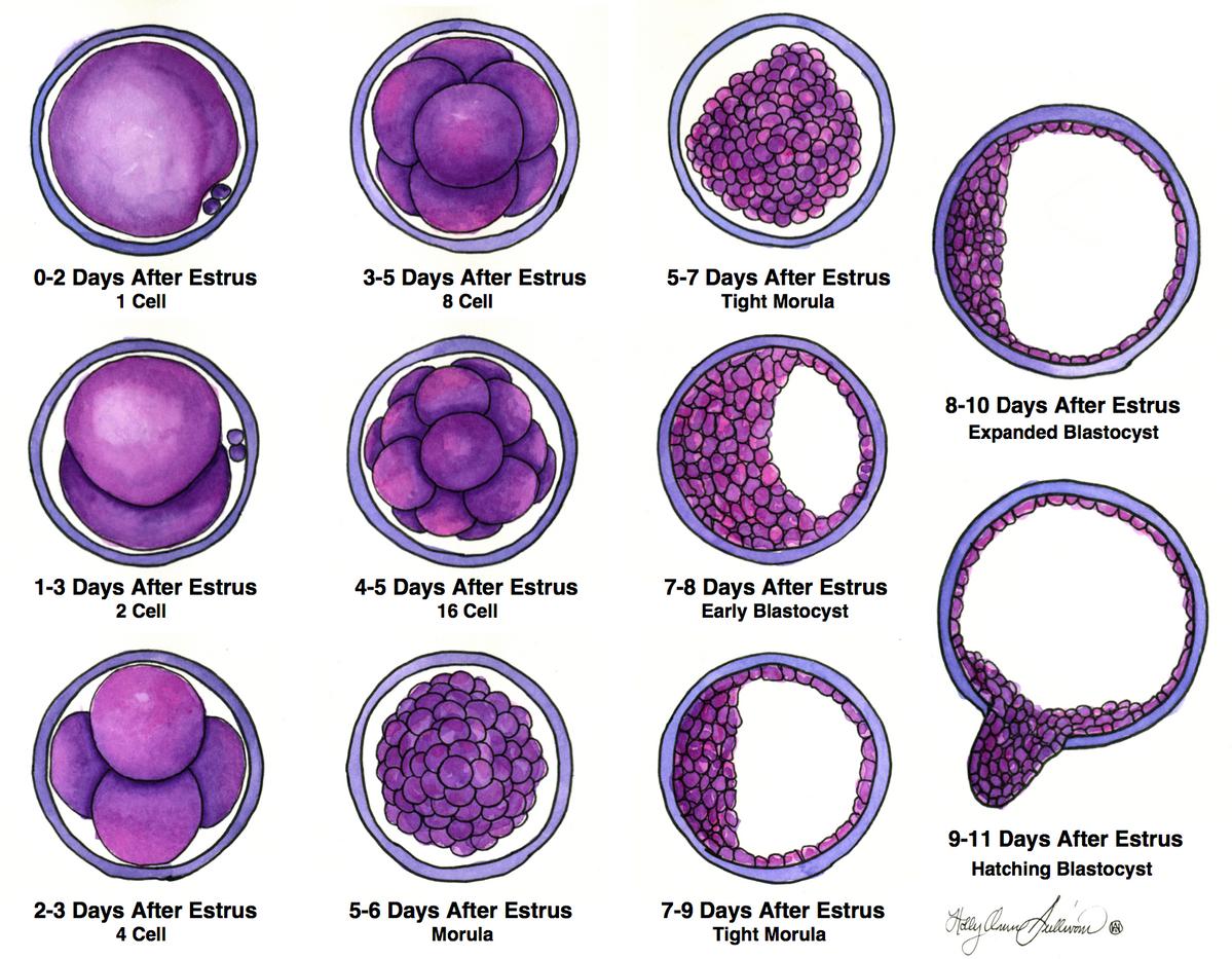 Oocyte Development