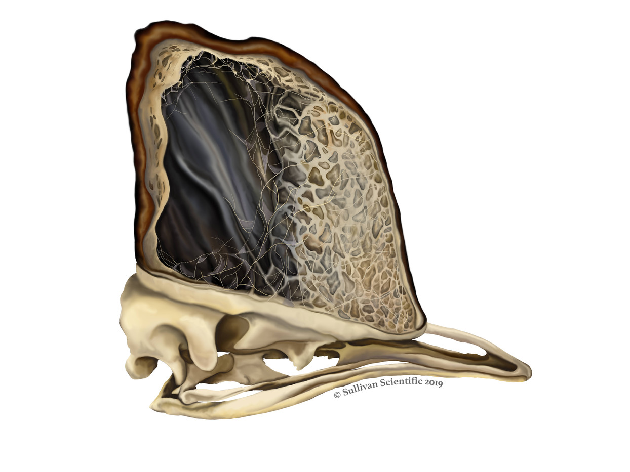 Cassowary Skull with a Cross Section of the Casque