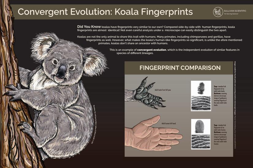 Convergent Evolution: Koala Fingerprints