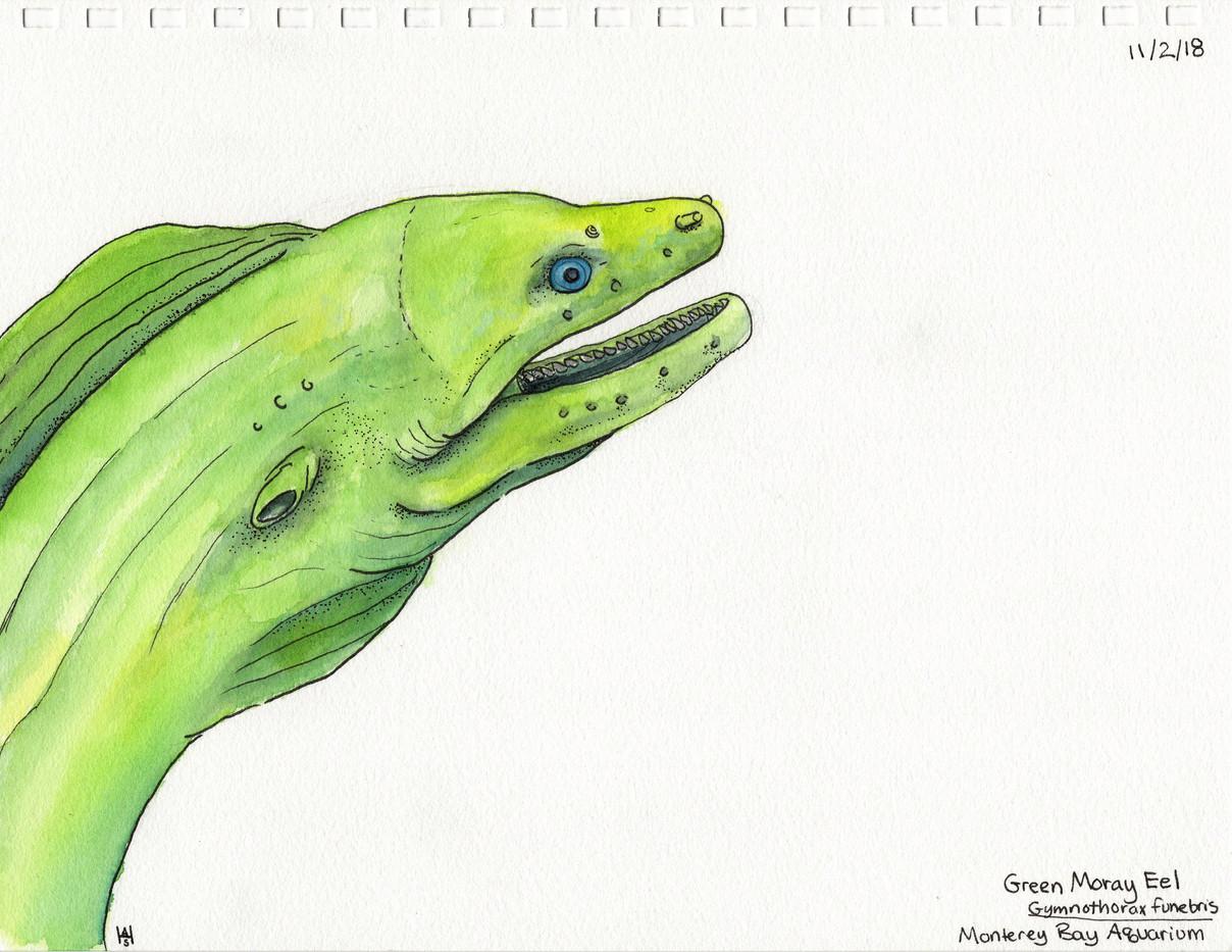 Green Moray Eel Sketch Monterey Bay Aquarium