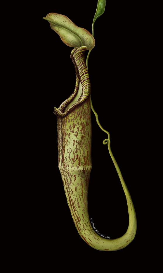 Nepenthes hemsleyana
