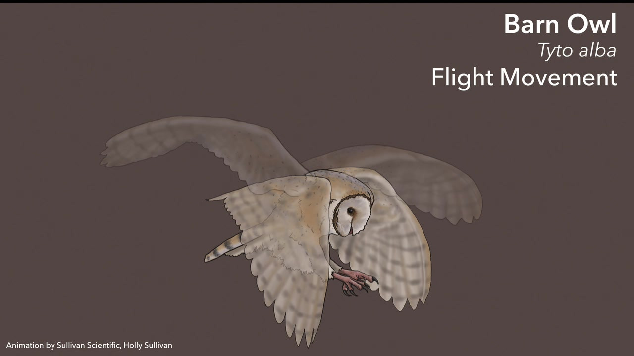 Barn Owl Anatomy and Flight Movements