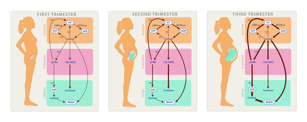 Pathways of Maternal-Placental-Fetal Interactions During Pregnancy
