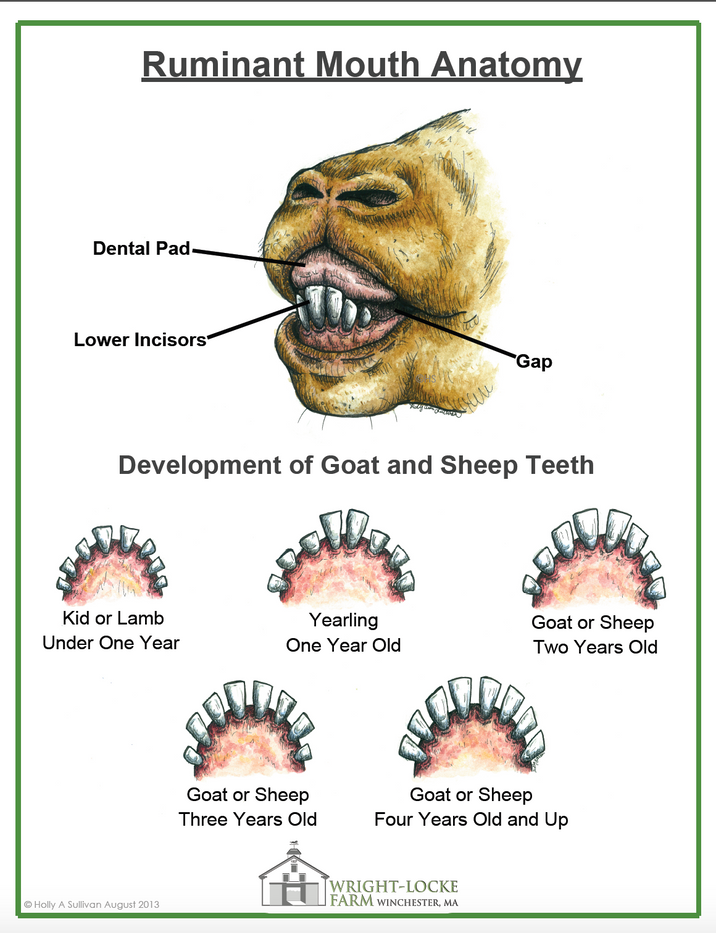 Ruminant Mouth Anatomy Poster
