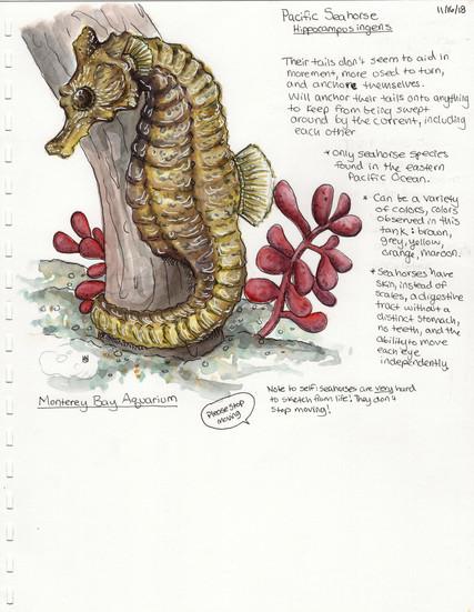 Pacific Seahorse Sketch Monterey Bay Aquarium
