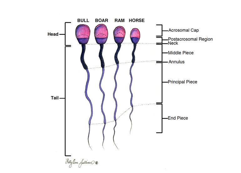 Species Sperm Comparison