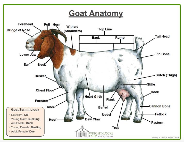 Goat Gross Anatomy Poster