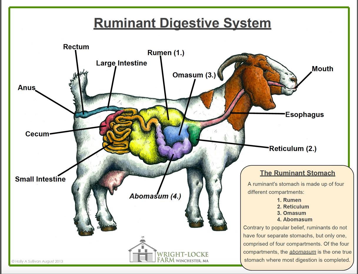 Ruminant Digestive Anatomy Poster