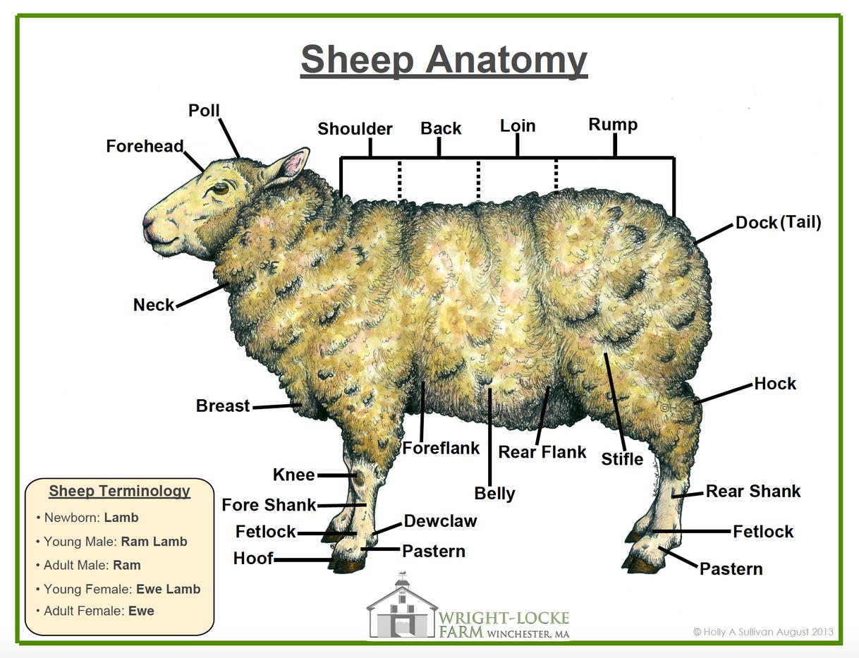 Sheep Gross Anatomy Poster