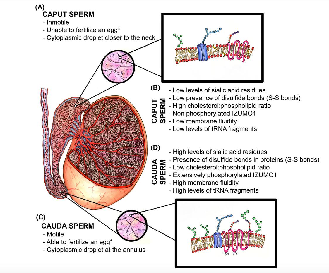Sperm Development in the Testicle