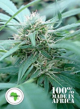 Mozambika | 25 Sativa Hemp Seeds