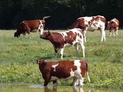 Manon BOUNISSOU Ostéopathie vache