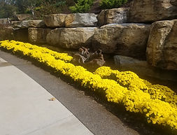 fall yellow mums residential