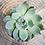 Thumbnail: Echeveria 'deranosa' 3 inch