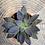 Thumbnail: Echeveria 'affinis' 3 inch