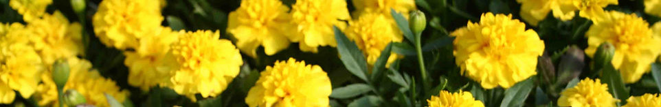 Marigold 2.jpg