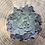 Thumbnail: Echeveria 'rosea' 3 inch