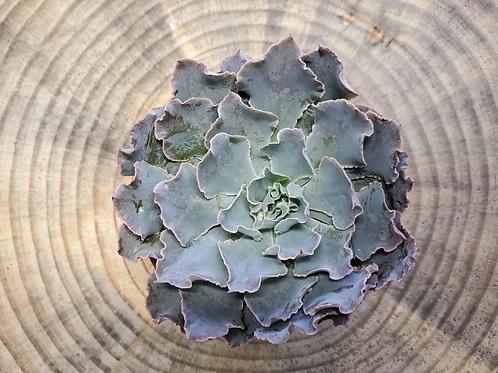 Echeveria 'rosea' 3 inch