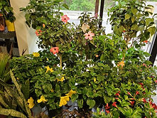 store front hibiscus.jpg