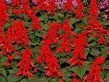 Salvia.jpg