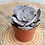 Thumbnail: Echeveria lilacina 'ghost echeveria' 3 inch