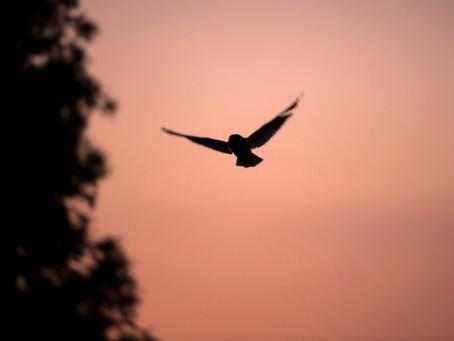 Observations crépusculaires d'un couple de Hibou moyen-duc avec des jeunes hors du nid