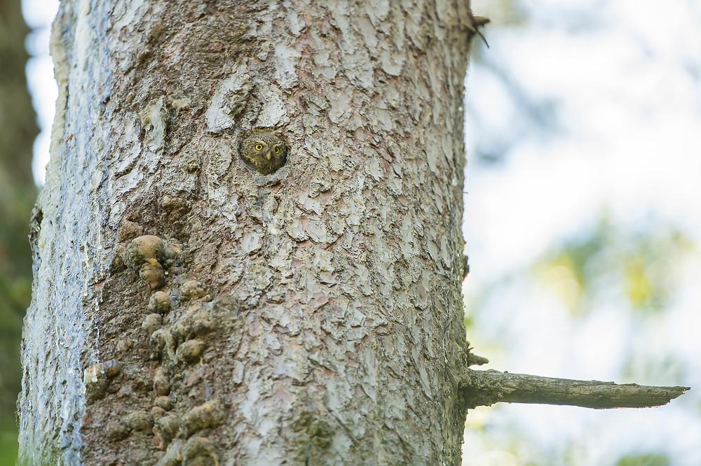 Femelle Chevêchette d'Europe depuis la loge attendant le mâle